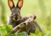 fotografia królik